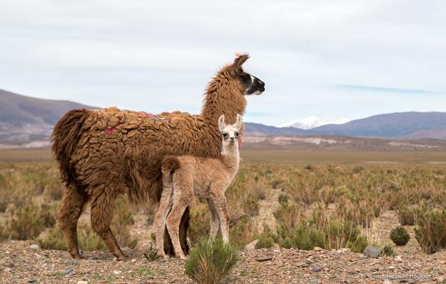 Lamas in San Antonio de los Cobres