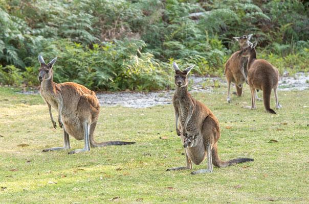 Kängurus im Yanchep Nationalpark