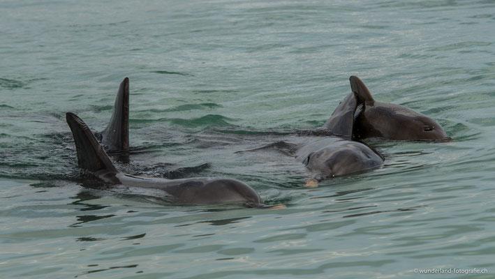 Delfine in Monkey Mia