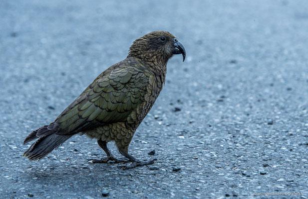 Kea, Bergpapagei in NZ