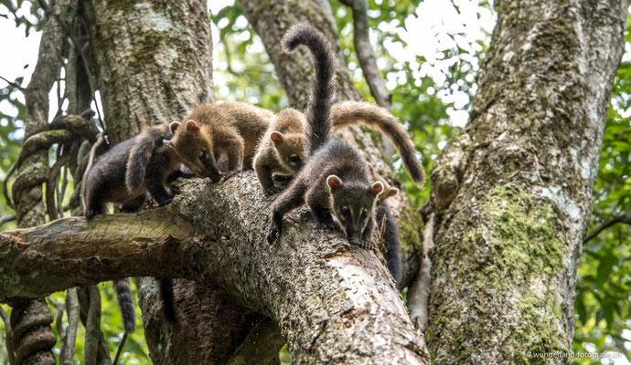 Nasenbären von Iguazú