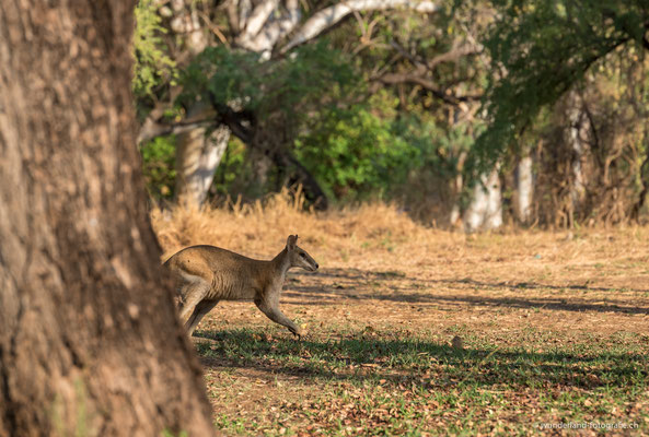 Känguru in El Questro, Gibb River Road