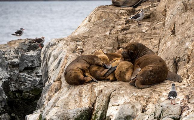 Seelöwen im Beagle-Kanal