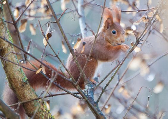 Eichhörnchen in Bern
