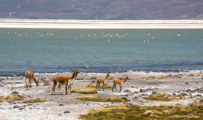 Vicuñas im Parque Nacional Lauca