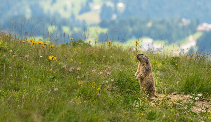 Täglich grüsst das Murmeltier