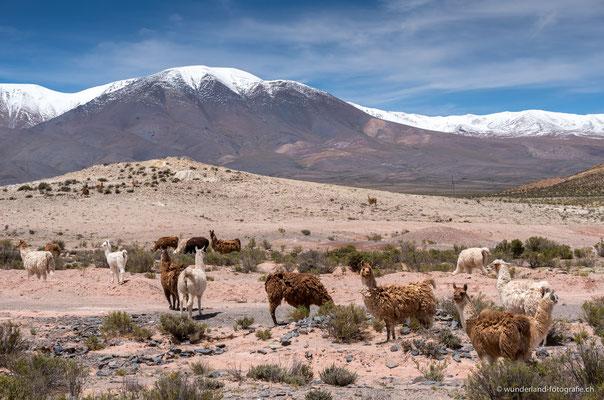 Lamas bei Abra Blanca Salta (4000 Meter ü. M.)