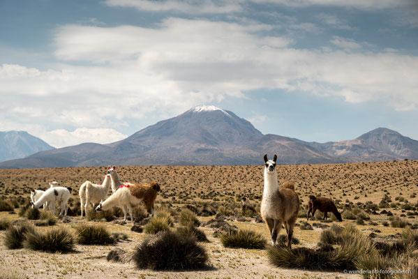 Lamas im Parque Nacional Lauca