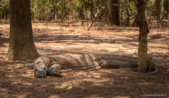 Komodo Warane auf Komodo