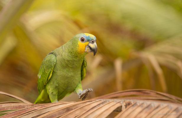 Papagei in Kolumbien