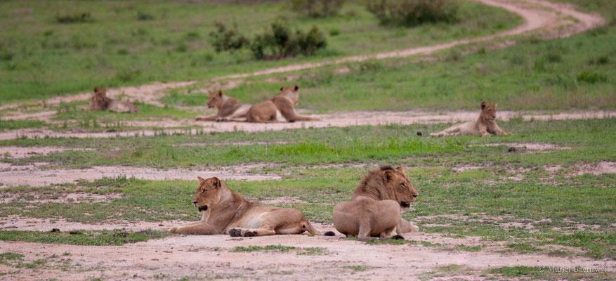 Löwenrudel in Südafrika