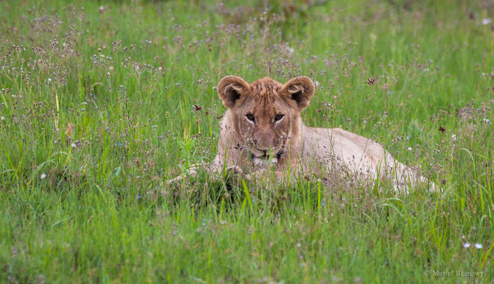 Löwenbaby in Südafrika
