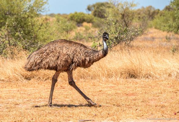 Emu in Exmouth