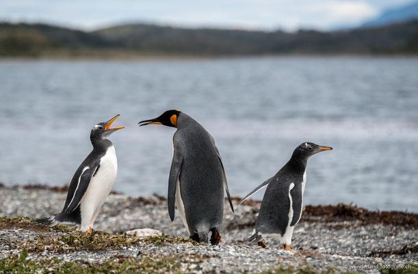 Pinguine auf der Isla Martillo im Beagle-Kanal