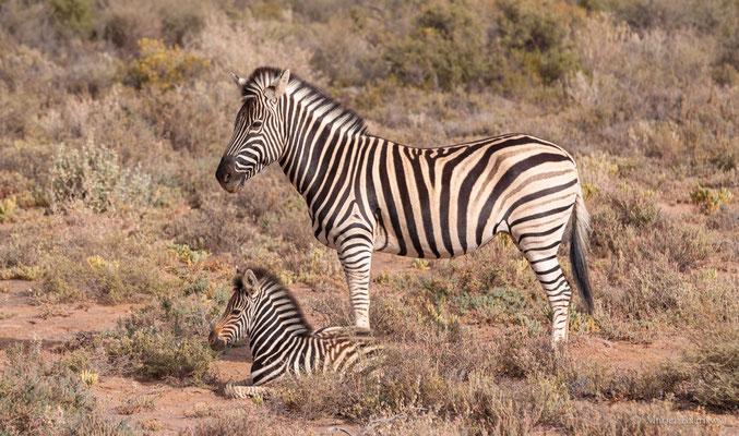 Zebra mit Jungtier in Südafrika