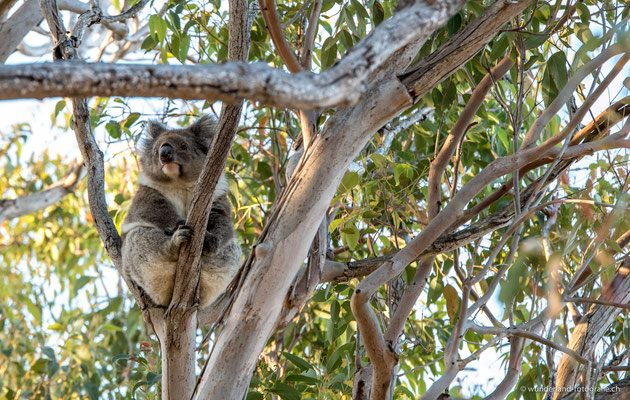 Koala im Yanchep Nationalpark