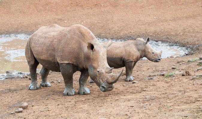 Nashorn mit Jungtier in Südafrika