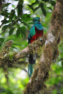 Quezal in Costa Rica