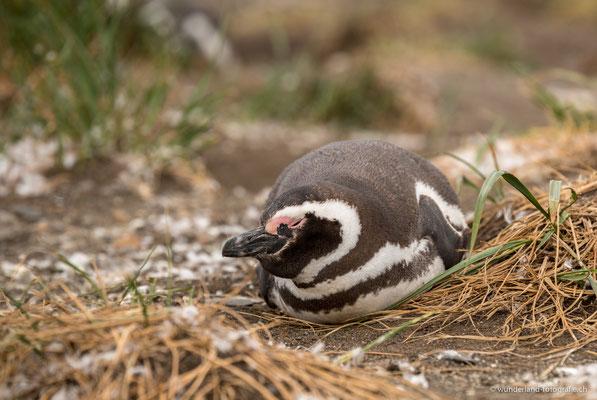 Magellan-Pinguin auf der Isla Martillo im Beagle-Kanal