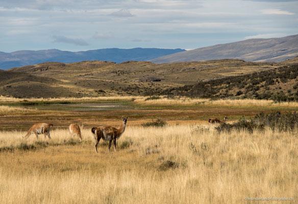 Guanakos in Torres del Paine