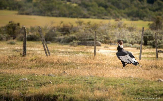 Kondor in Torres del Paine