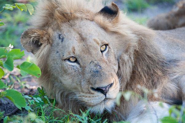 Löwenportrait  in Südafrika