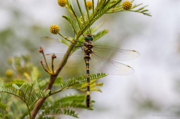 Libelle in Südafrika