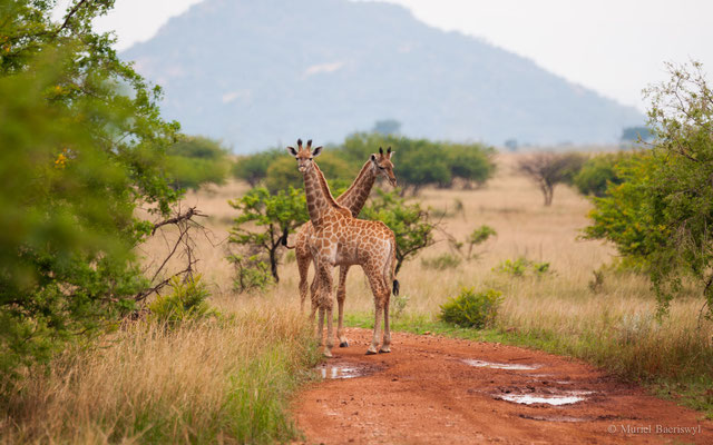 Giraffenjunge in Südafrika
