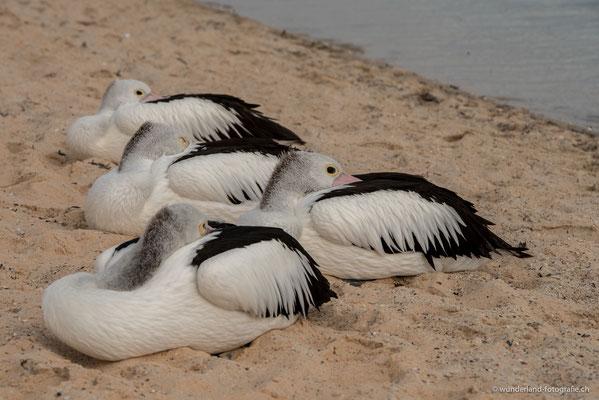 Pelikane in Monkey Mia