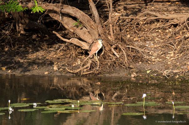 Grünreiher in Cooinda, Yellow Water