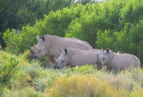 Nashorn-Familienfoto in Südafrika