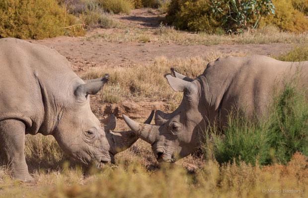 Nashörner im Kampf in Südafrika