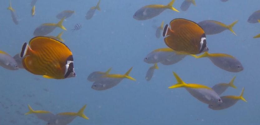 Wiebels Falterfische und Gelbrücken Füsiliere