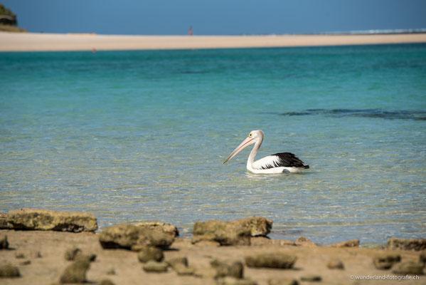 Pelikan in Coral Bay