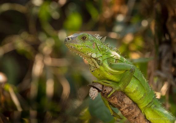 Leguan in Kolumbien