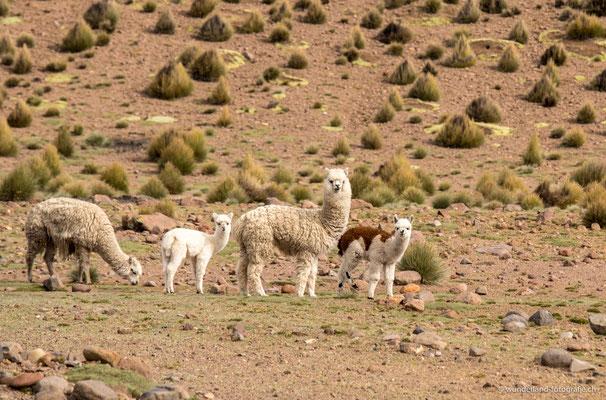 Alpakas im Parque Nacional Lauca