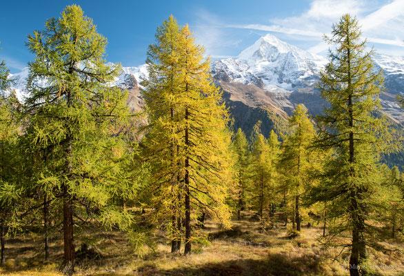 Lötschentaler Panoramaweg: Goldener Herbst