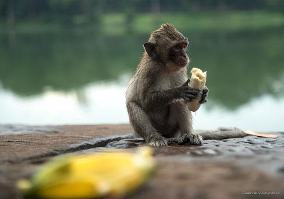 Affen auf dem Weg zu den Tempeln