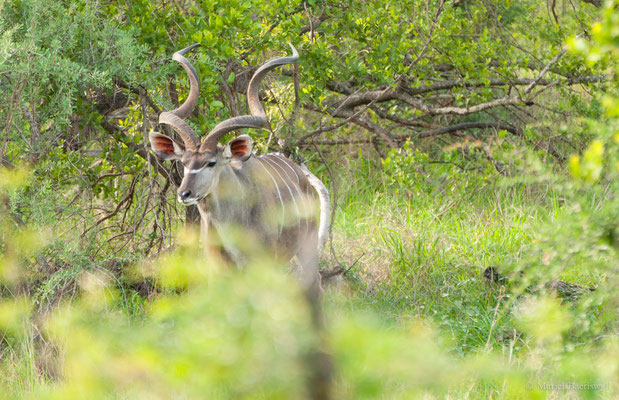 Kudu in Südafrika