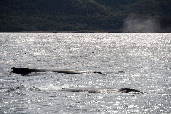 Buckelwale im Beagle-Kanal