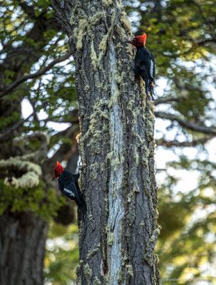 Magellan-Spechte in Ushuaia