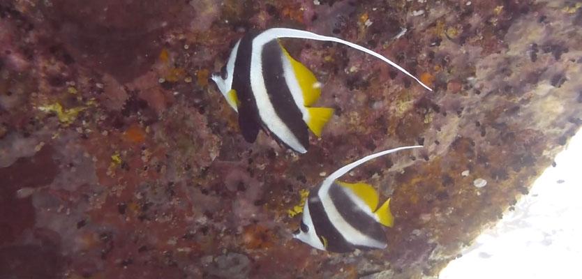 Schwarm-Wimpelfisch