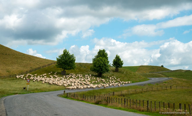 Das Hobbiton Filmset ist noch immer eine laufende Farm mit über 13000 Schafen.