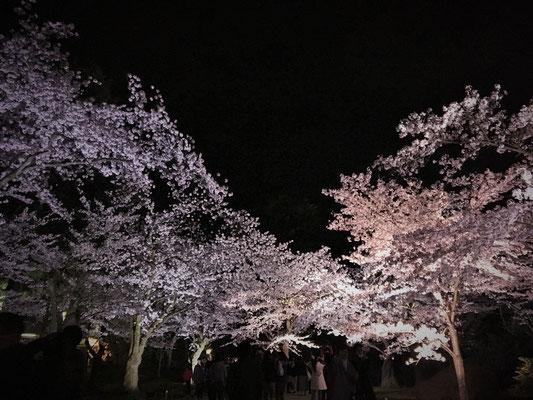兼六園内 桜のトンネル