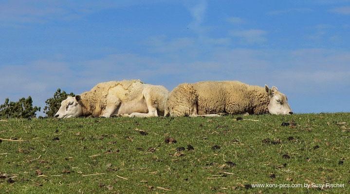 Texel-Schaf in Makkum