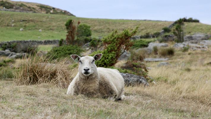 Schafe auf Bru