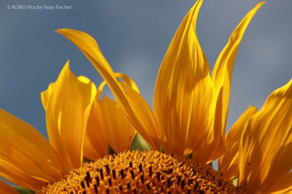 Sonnenblume auf der Insel Mon in Dänemark