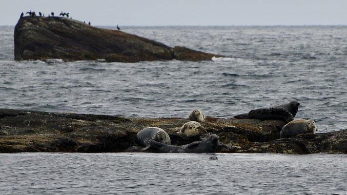 Unterwegs nach Tananger - Robben!