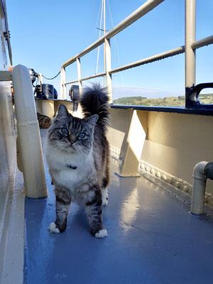 Unsere Schiffskatze Jonny (Ragdoll)
