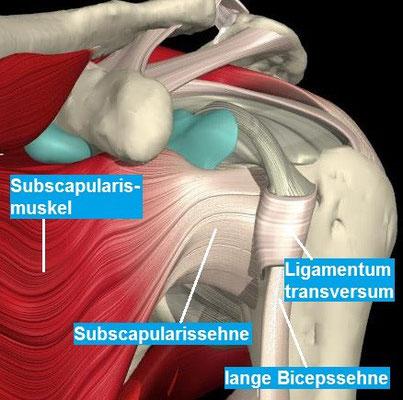 Ansicht der Schulter von vorne mit der Subscapularissehne (=Teil der Rotatorenman-schette) und der langen Bicepssehne